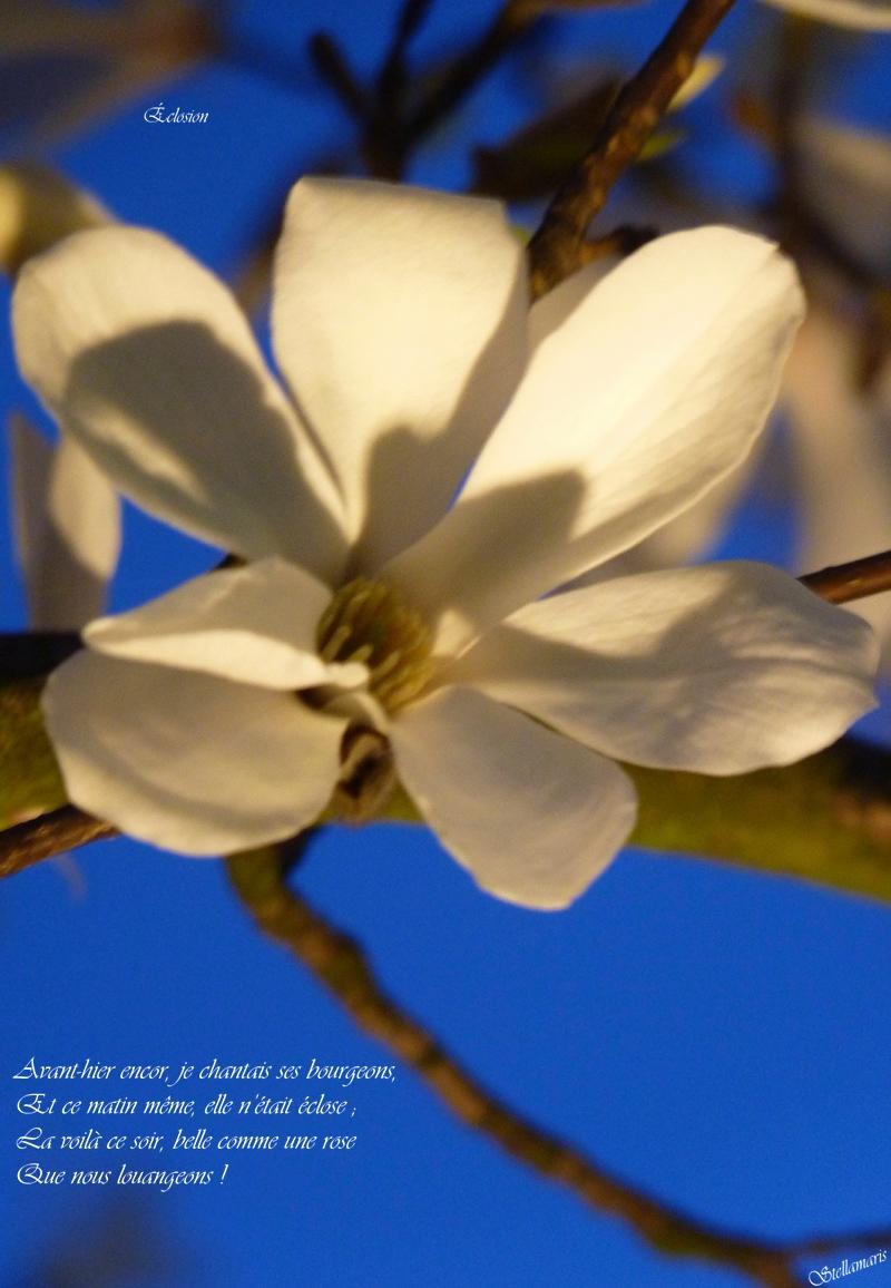 Éclosion / / Avant-hier encor, je chantais ses bourgeons, / Et ce matin même, elle n'était éclose ; / La voilà ce soir, belle comme une rose / Que nous louangeons ! / / Stellamaris